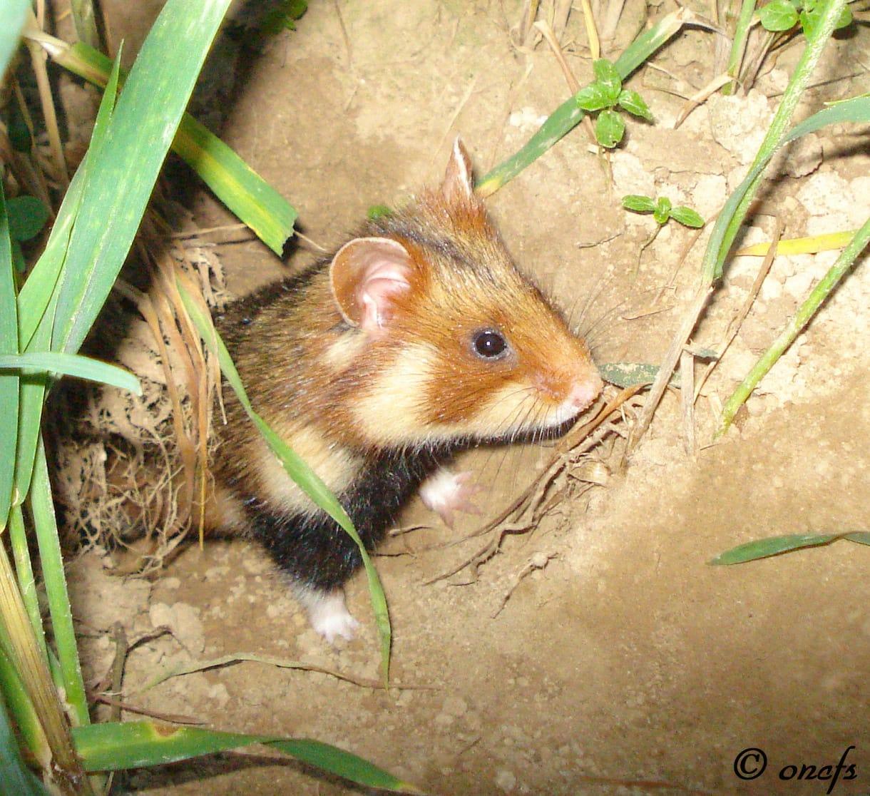 Le grand hamster divise plus que jamais