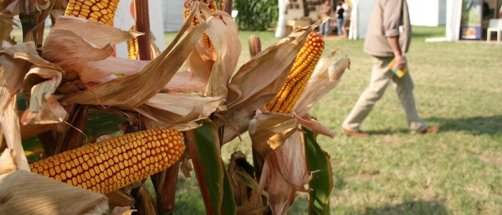 La monoculture de maïs en plaine d'Alsace est un danger pour la biodiversité (Photo MM)