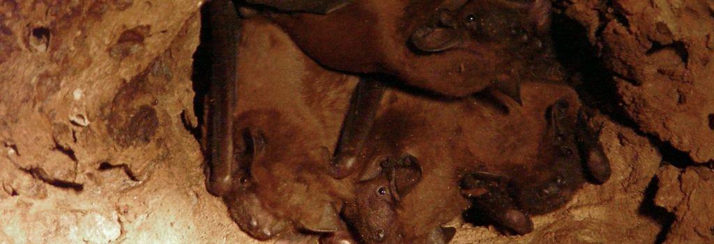 Près de 500 chauve-souris rares découvertes dans un arbre abattu