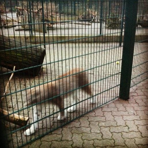 """Dans les enclos du """"grand secteur"""", un pavage a été installé pour la """"facilité d'entretien et l'hygiène"""". Ici, l'un des deux lynx de Sibérie du zoo (Photo MM)"""