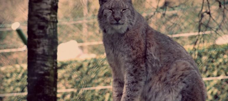 Qui a eu la peau du lynx ?