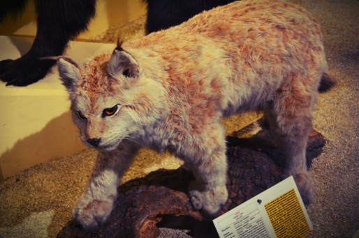 Lynx naturalisé