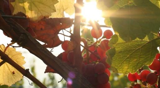 Le soleil dose la quantité de sucre dans le raisin. Que se passe-t-il alors quand le soleil change ? (Photo JR / Rue89 Strasbourg)