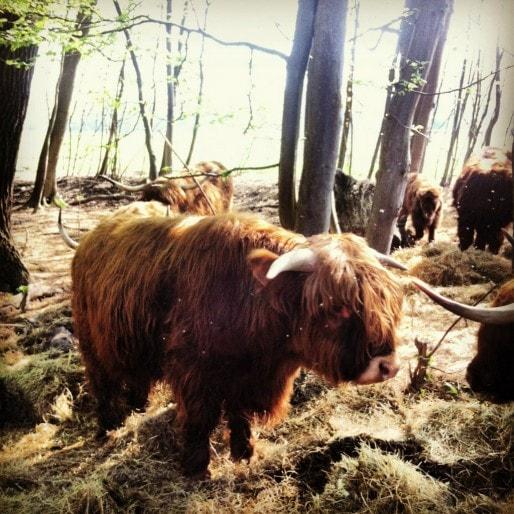 Un troupeau de highland cattles a été installé sur la zone non constructible entre la digue et la forêt de la Robertsau (Photo MM / Rue89 Strasbourg)