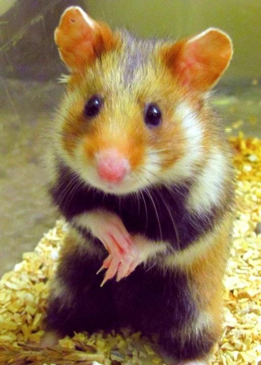 La chance du Grand hamster d'Alsace, c'est qu'il est mignon (Photo LIFE Alister)