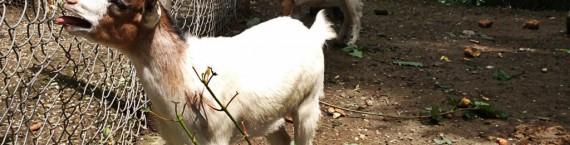 Les chèvres naines pleurent la disparition de l'une de leurs semblables (Photo JFG/ Rue89 Strasbourg)