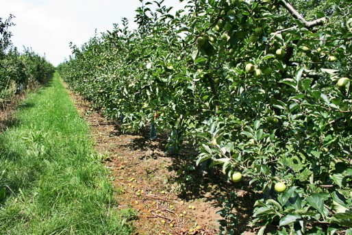 Pour trouver preneur, les pommes doivent avoir un aspect impeccable . (Photo JFG / Rue89 Strasbourg)
