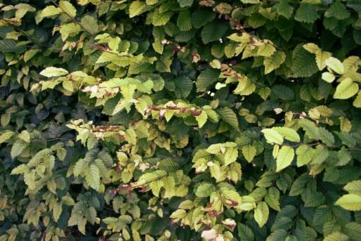 Les feuilles d'une haie mitoyenne, certaines très jaunies, d'autres vertes. Pour la propriétaire, seules les pesticides peuvent expliquer cet aspect (Photo JFG/ Rue89 Strasbourg)
