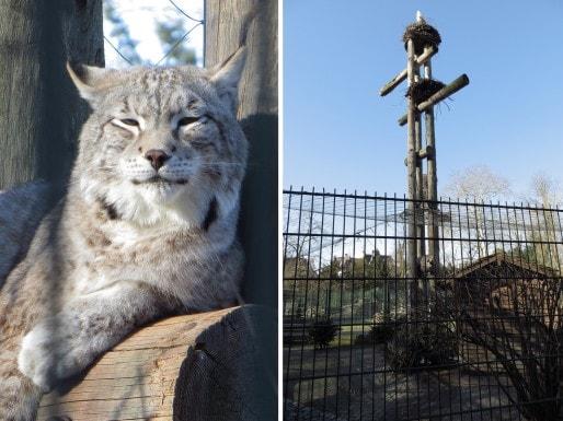"""Un des lynx du Zoo de l'Orangerie  et sa cage surmontée du """"mât"""" à cigognes. Photo Marc Gruber/Rue89Strasboourg"""