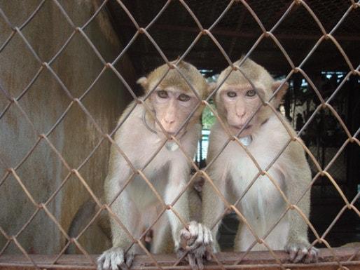 Le centre de primatologie de Niederhausbergen est une plateforme d'import-export. (document pro-Anima)