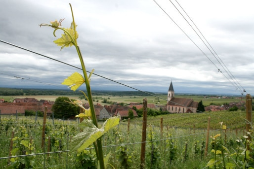 Vignes en biodynamie de Patrick Meyer à Nothalten (Photo MM / Rue89 Strasbourg)