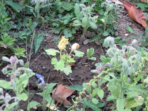 Le jardin contient plusieurs légumes en fleur qui n'ont pas poussés. (Photo Clémence Simon/Rue89 Strasbourg)