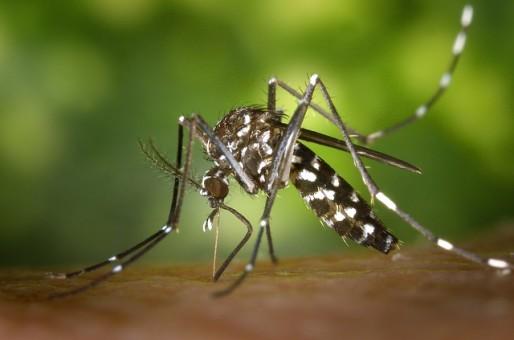 Le moustique tigre, reconnaissable à ses rayures. (Photo Pixabay)