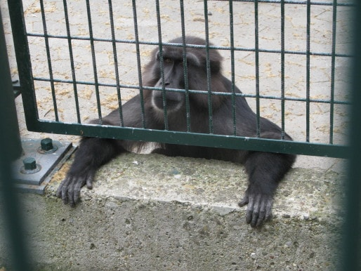 Les macaques de Tonkéan sont l'une des principales attractions du zoo (Photo DR)