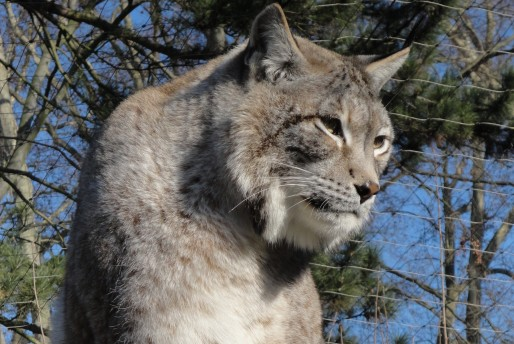 Les lynx de Sibérie, apathiques ou invisibles, sont dans le viseur des critiques (Document remis)