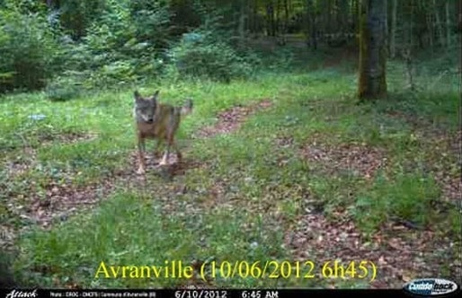 Un cliché pris par un piège photographique en juin 2012 à Avranville, Vosges (Photo ONCFS)