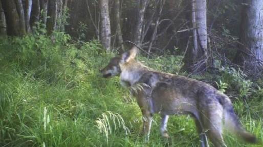 Premier cliché d'un loup dans les Vosges pris en 2011 par un piège photographie (Photo ONCFS)