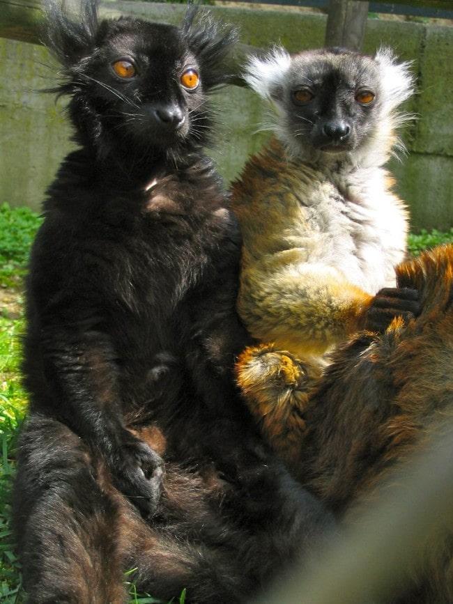 Les lémuriens étant protégés, ils ne sont soumis qu'à des études comportementales et plus bio-médicales. (doc. remis)