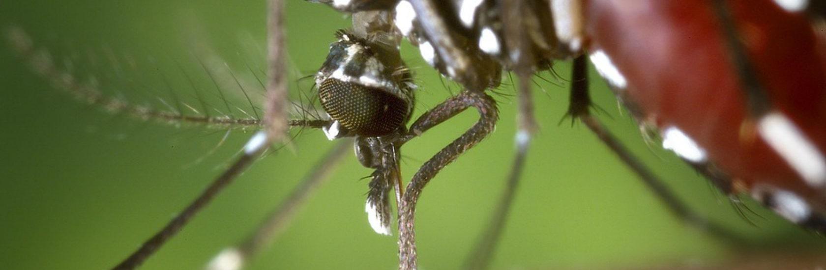 Installé dans le Bas-Rhin, le moustique-tigre désormais surveillé de près