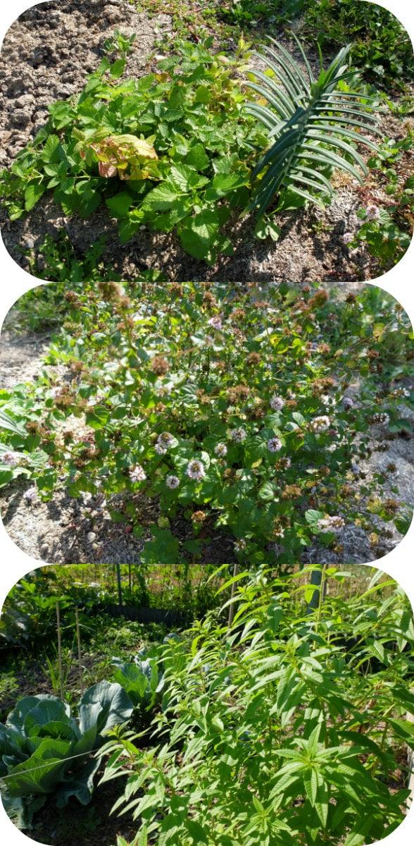 Plantes aromatiques dans mon jardin : mélisse, menthe et verveine citronnée (Photo MM / Rue89 Strasbourg)