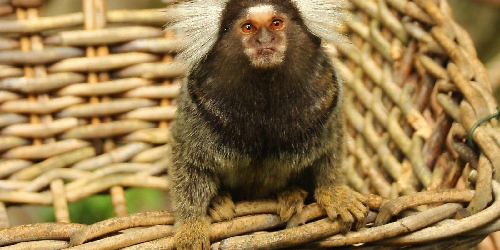 Une marche dimanche contre le centre de primatologie