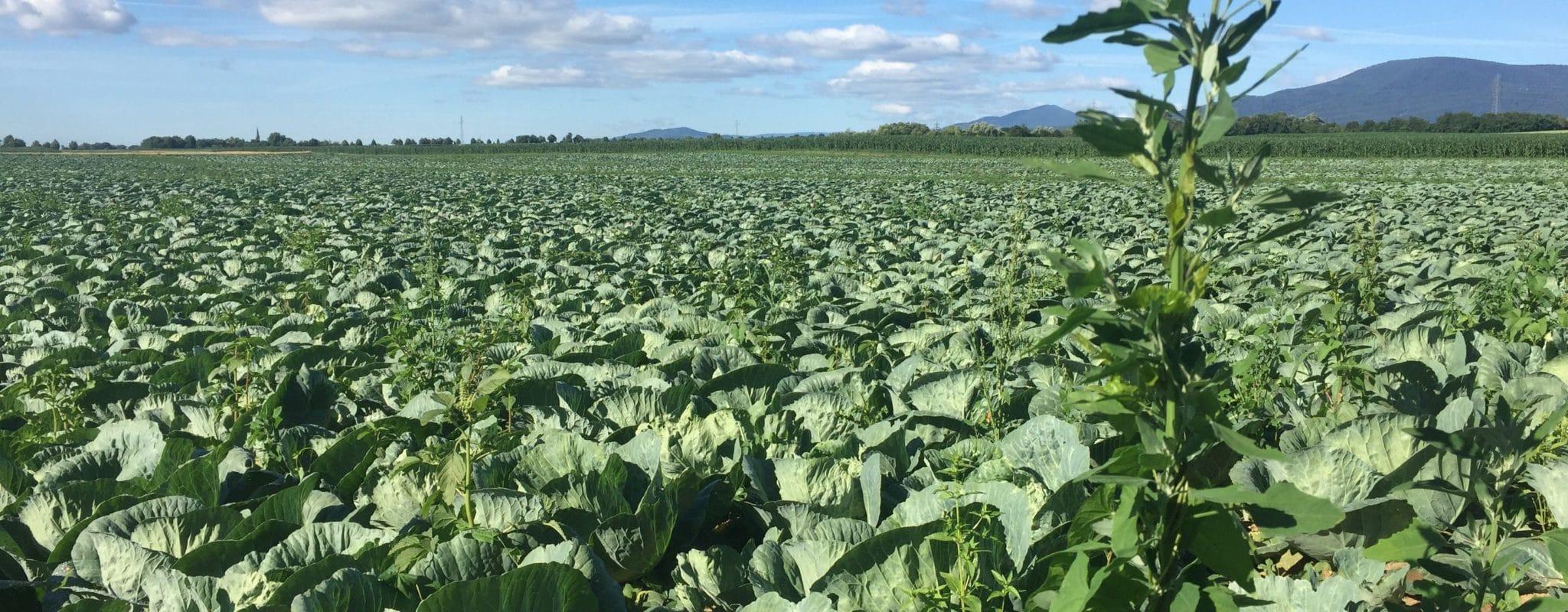 Désormais protégée, la «Choucroute d'Alsace» pourra toujours venir de Pologne