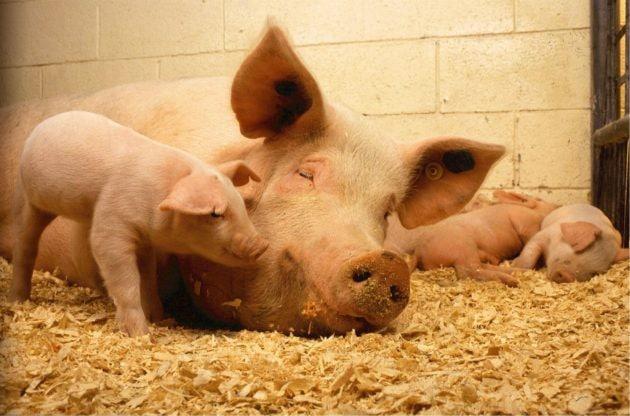 Famille ou réserve de côtelettes sur pattes ? Les conditions du débat inquiètent les bouchers (Photo Visual Hunt / cc)