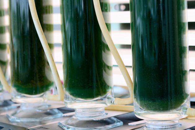 Le procédé de culture d'algues développé par Algae natural food attend de pouvoir être mis en oeuvre à grande échelle (Photo Algae natural food)