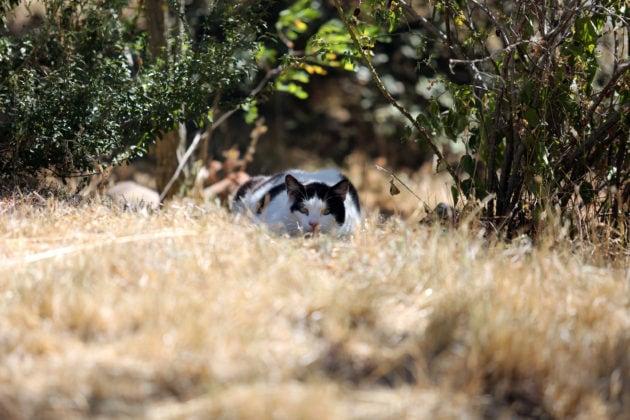 """En ce début de juillet, c'est déjà la pleine sécheresse, avec les prairies qui prennent déjà leur teinte """"paillasson"""". Il est vrai que le Mistral sévit un jour sur trois. Les chats sont rois sur ce territoire, jardin, alentours du bassin, ou pleine garrigue ? C'est de l'espace laissé à leur seul usage. Pas moyen d'irriguer une aussi grande étendue de terrain."""