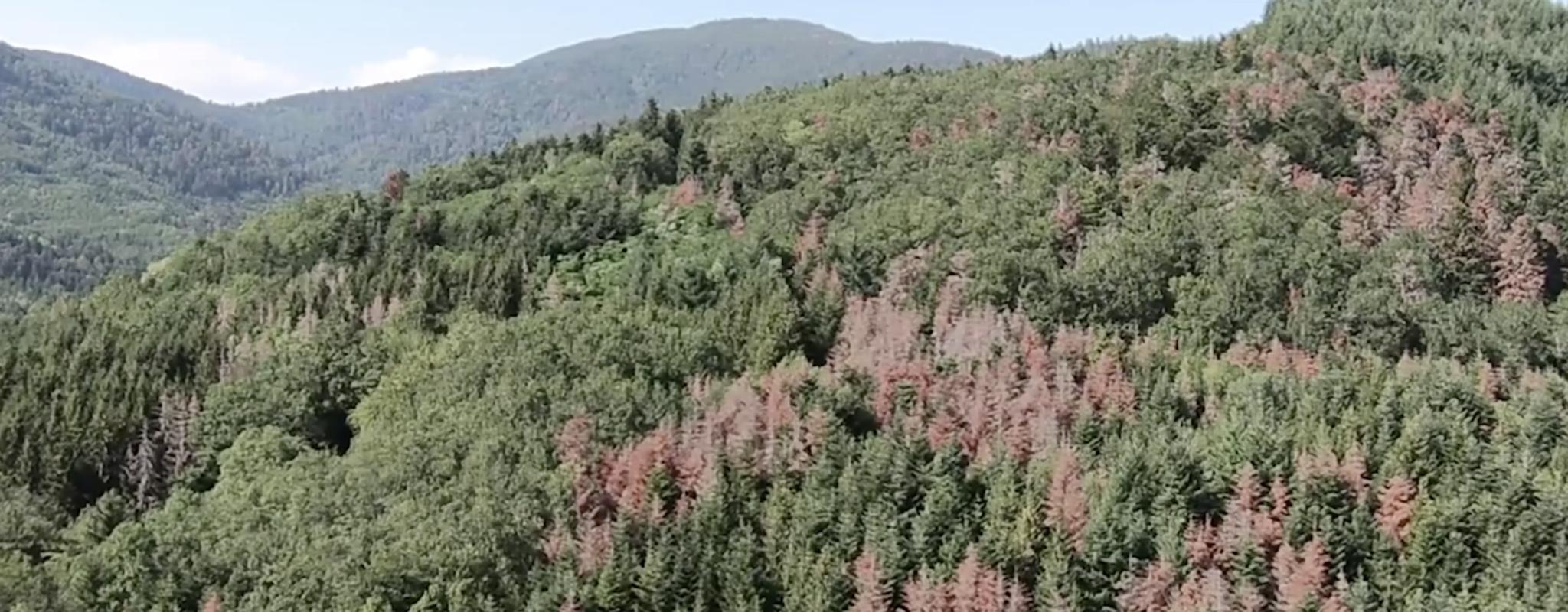 Sécheresse : les forêts du Grand Est meurent de soif