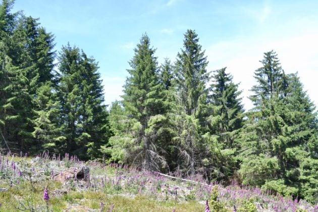 Composée à 80 % de résineux, presque exclusivement des épicéas, la forêt est dégradée