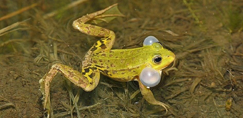 La grenouille de Lessona, une bizarrerie génétique bien présente en Alsace