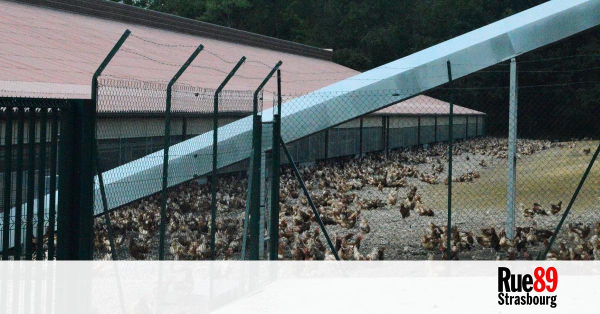 """L'absurdité des élevages """"plein air,"""" des espaces vides et des poules agglutinées"""