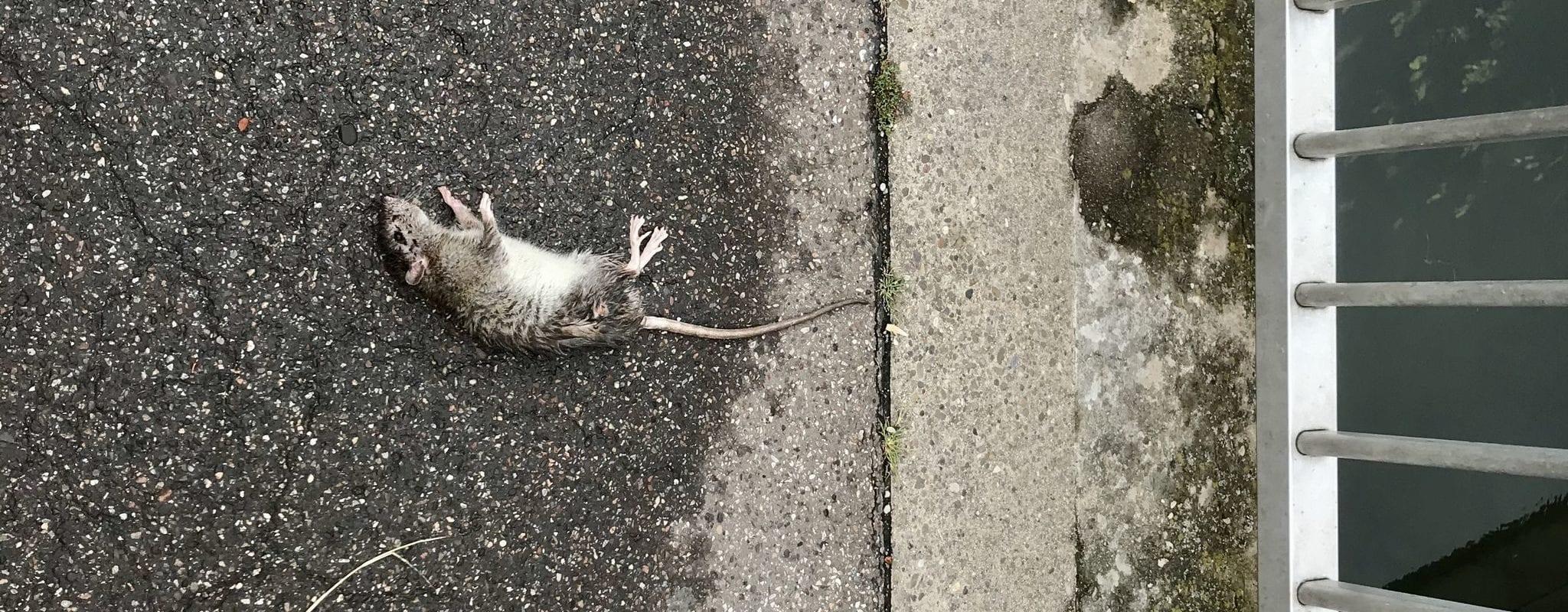 Depuis le confinement, la prolifération des rats pose un problème sanitaire