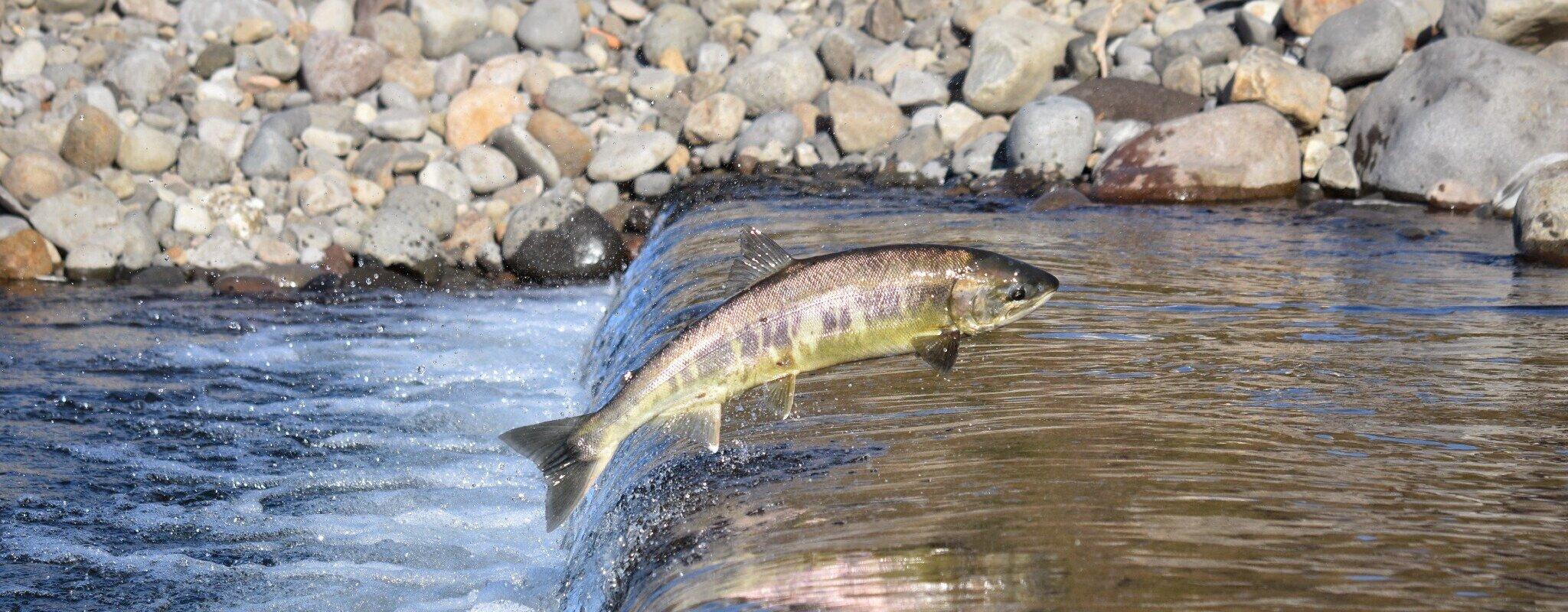 À cause de la France, les saumons toujours empêchés de remonter le Rhin